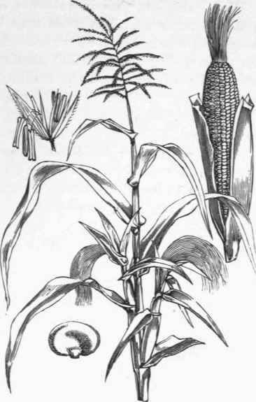 Corn Drawing Image