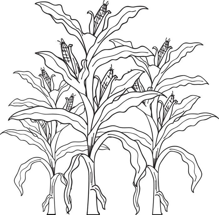 700x687 FREE Printable Corn Stalks Fall Coloring Page For Kids