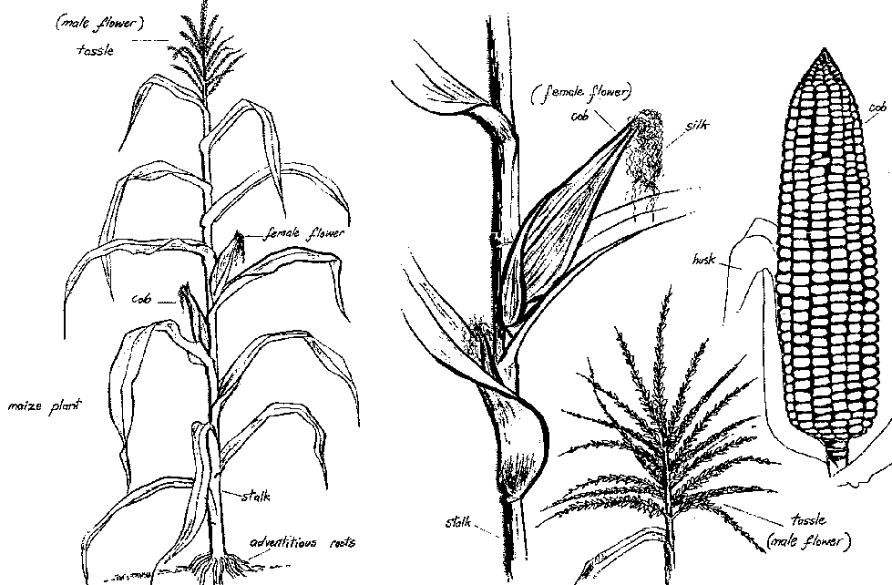 Corn Plant Drawing