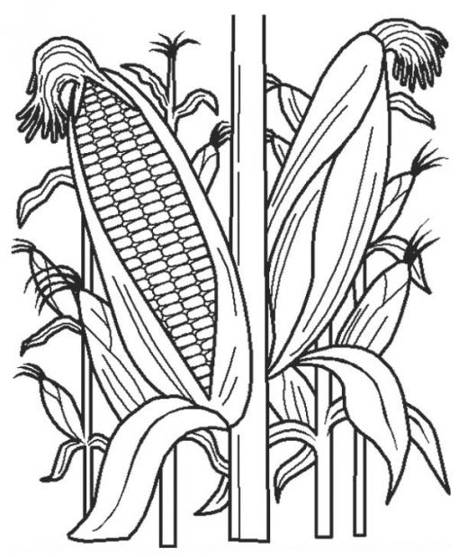 510x619 Corn Stalk Coloring Page