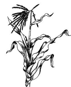 247x300 European Corn Borer Vce Publications Virginia Tech