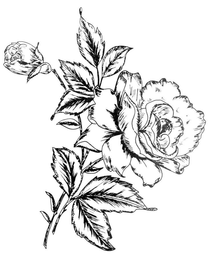 736x922 210 Best Flower Sketch Images Images On Flower