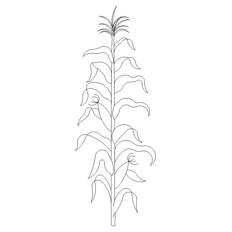 Cornstalk Drawing