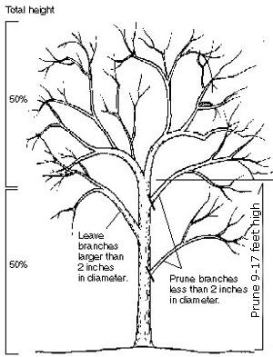 300x393 Drawn Korn Tree
