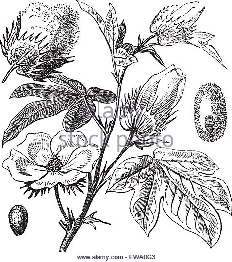 478x540 Cotton Plant Botanical Drawing Stock Photos Amp Cotton Plant