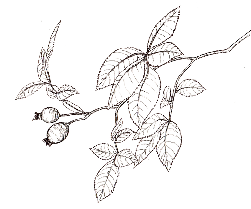 851x709 Rosehips (Own Sketch) The British Countryside Heritage