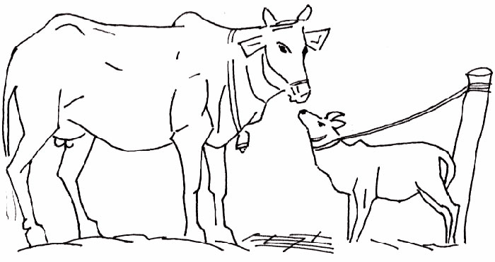 how to draw a cow and calf