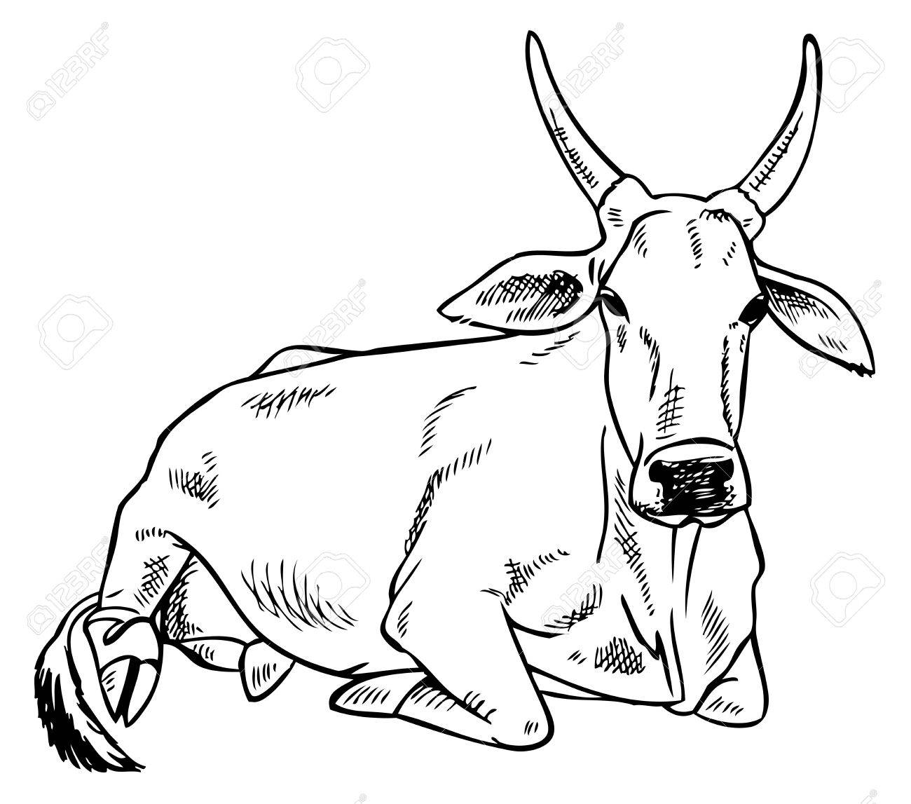 1300x1147 Hand Drawing On A White Background Indian Zebu Cow Royalty Free