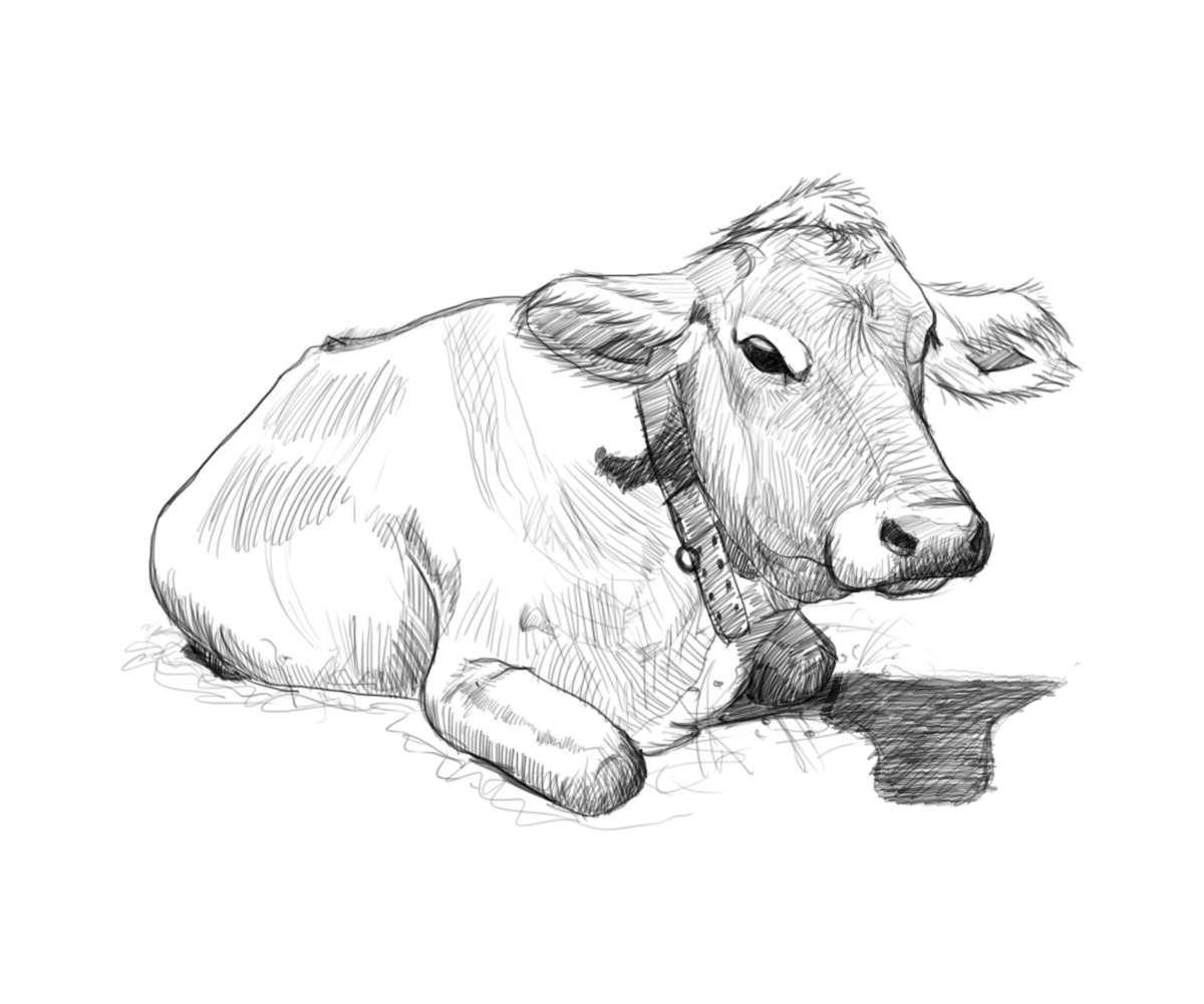 Cow Drawing Pictures