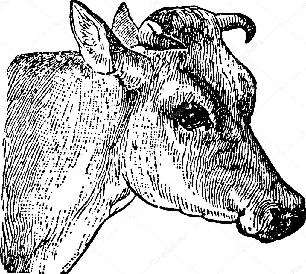 1023x915 Vintage Drawing Cow Head Stock Photo