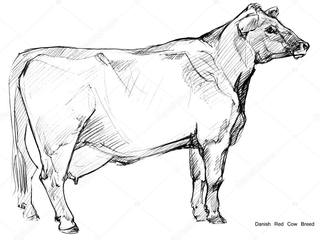 1024x768 Cow Pencil Sketch Cow. Cow Sketch. Dairy Cow Pencil Sketch. Animal