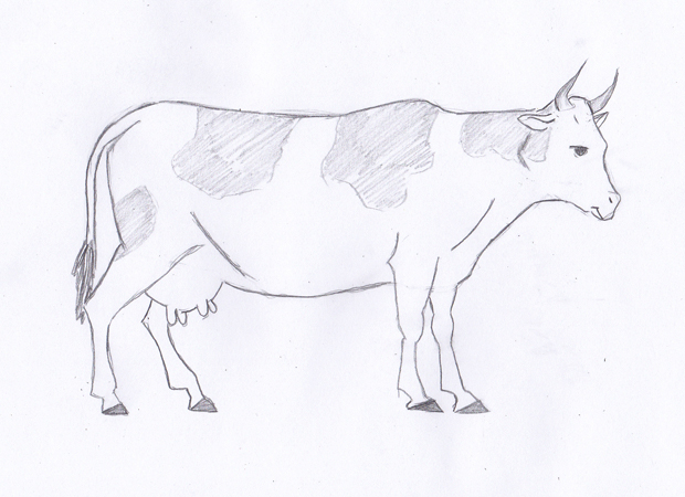 620x450 How To Draw A Cow