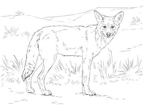 480x360 Coyote Coloring Page Free Printable Coloring Pages