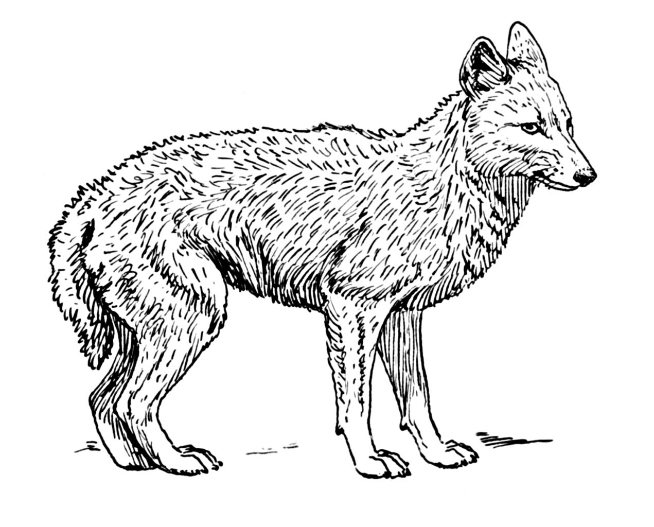 1271x1024 Coyote