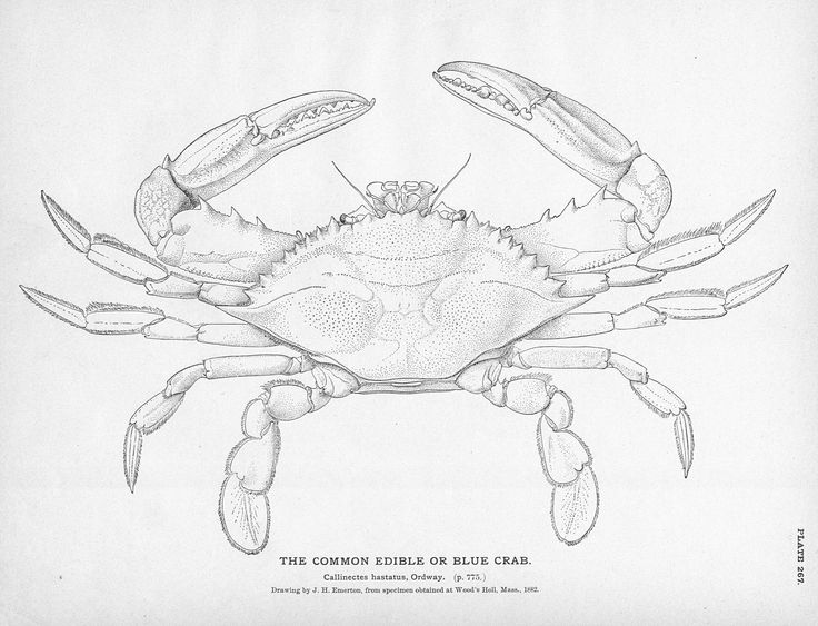 Crab Claw Drawing