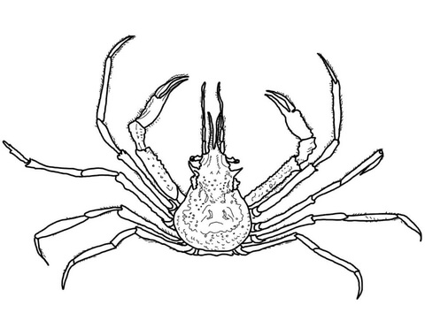 480x371 Graceful Decorator Crab Coloring Page Free Printable Coloring Pages