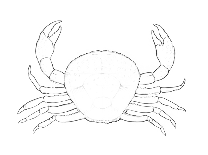 700x523 The Crab Drawing Step By Step Eugenia Hauss