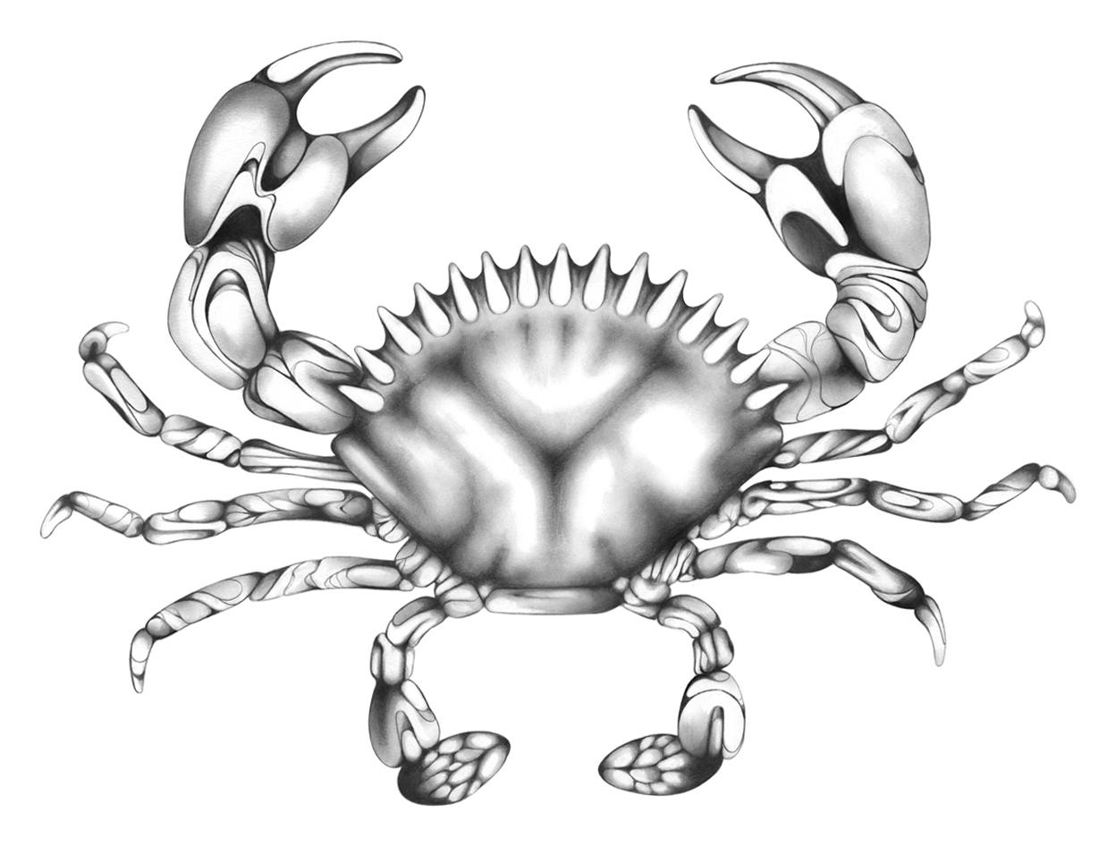 1247x947 Crab Drawing Adrianna Grezak Art Amp Design