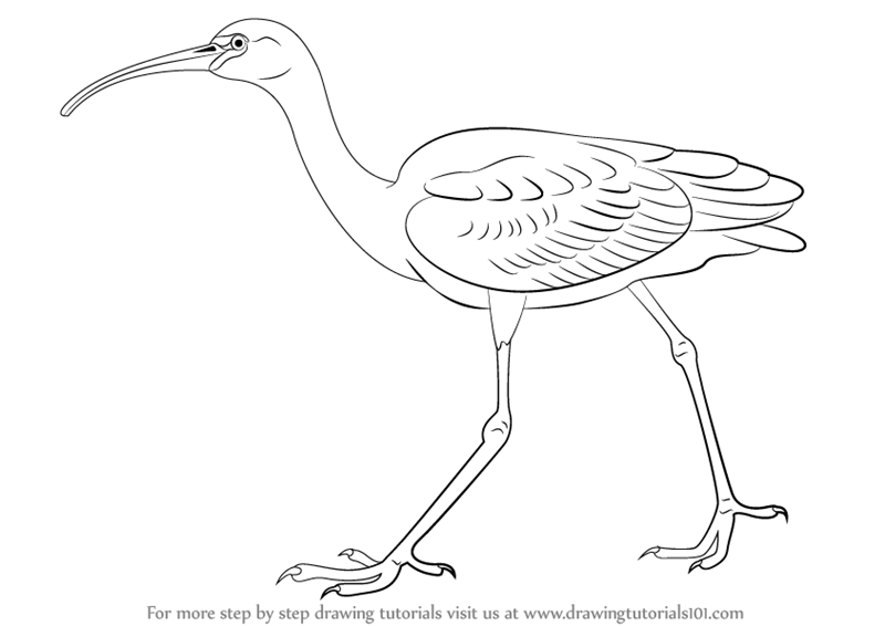800x566 Learn How To Draw A Glossy Ibis (Birds) Step By Step Drawing