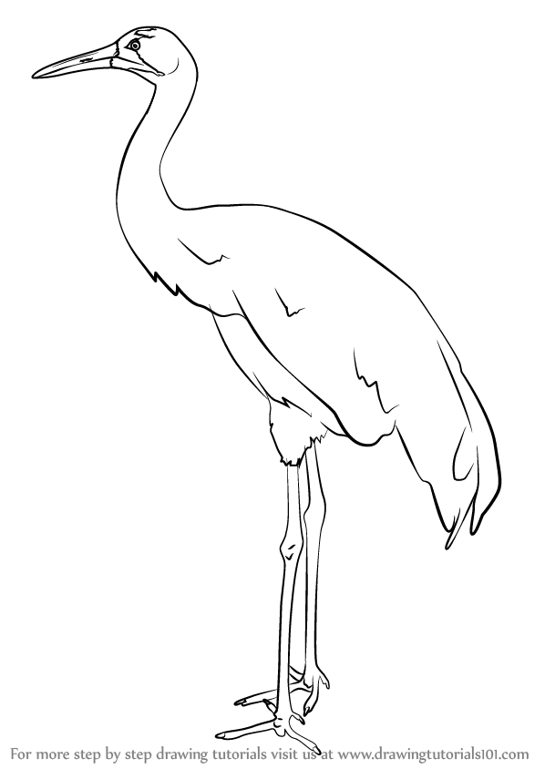 598x844 Learn How To Draw A Whooping Crane (Birds) Step By Step Drawing