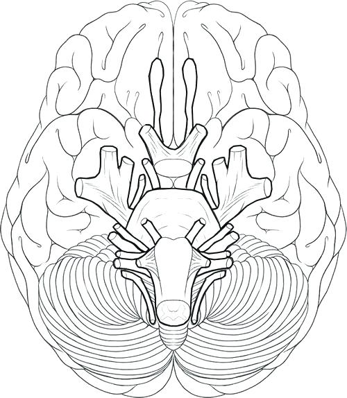 cranial nerve drawing at getdrawings com