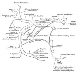 250x230 Intermediate Nerve