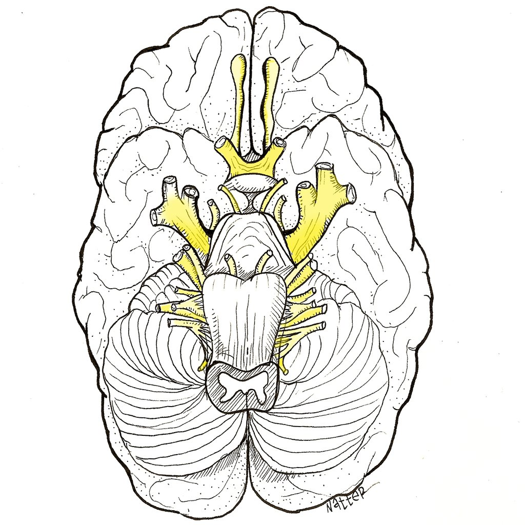 Cranial Nerves Drawing at GetDrawings.com   Free for personal use ...