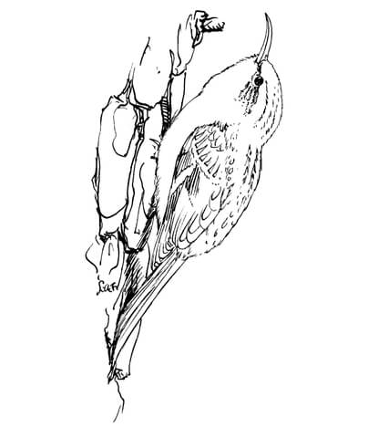 404x480 Brown Creeper Bird Coloring Page Free Printable Coloring Pages