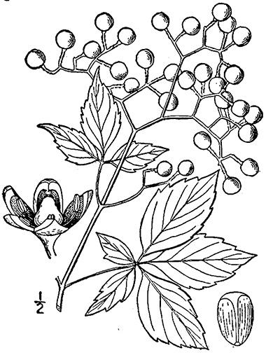 380x507 Virginia Creeper, Parthenocissus Quinquefolia And Grape Woodbine