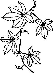 216x297 Virginia Creeper Clip Art
