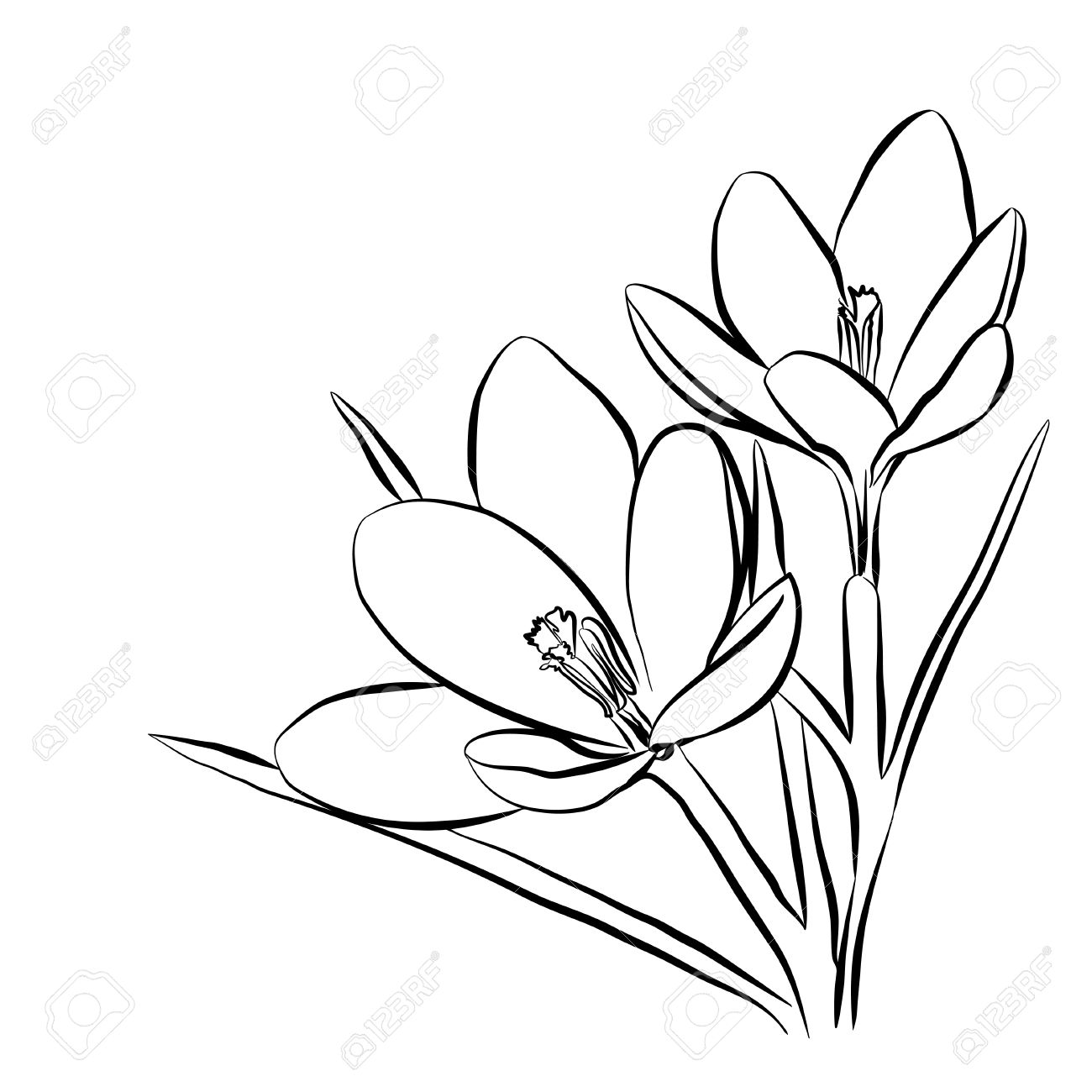 crocus flower drawing at getdrawings free