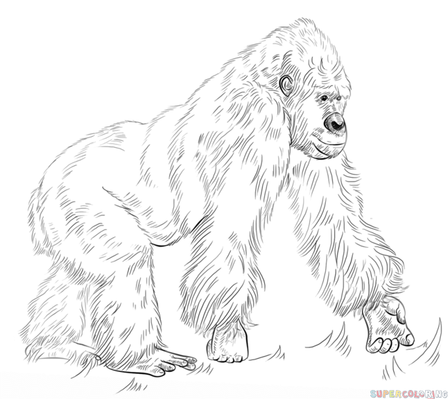 646x575 How To Draw A Gorilla Standing Up Easy Step By Step For Beginners