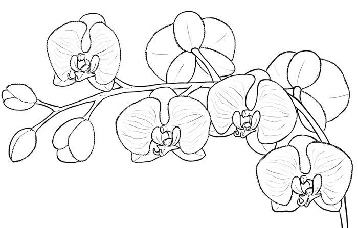 700x447 How To Draw Flowers The Sexy And Sultry Orchid