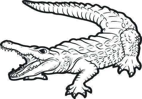476x333 Alligator Coloring Pages Alligator Coloring Page Alligator