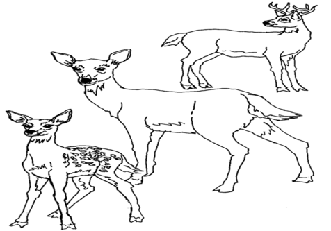 476x333 Baby Deer Coloring Pages Page Image Clipart Images