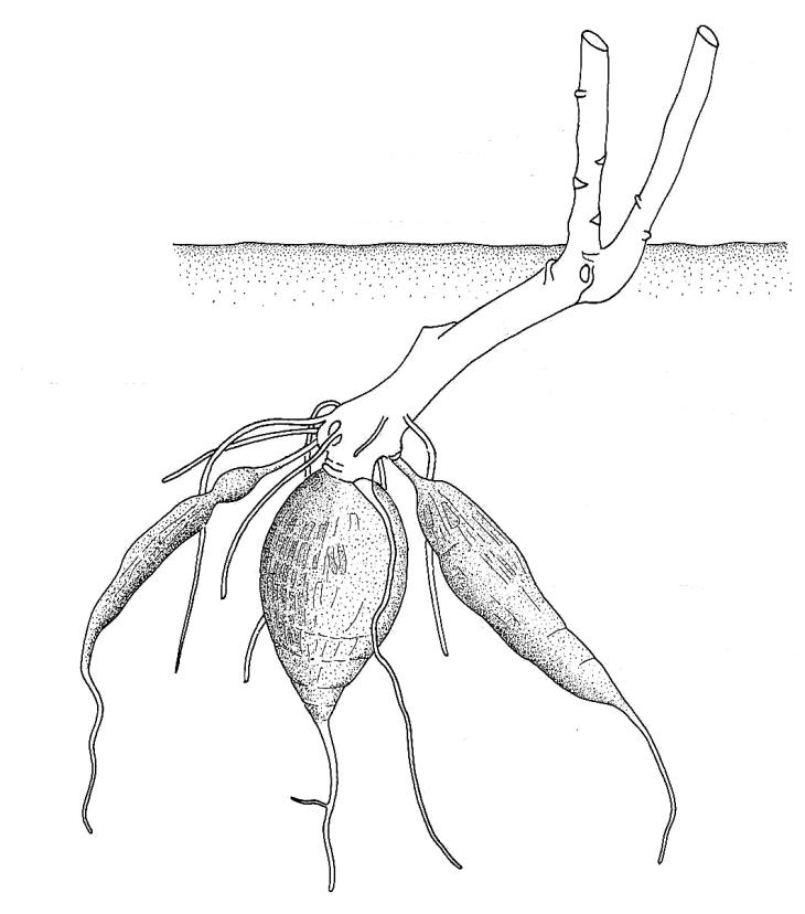 730x828 Biological Drawing Of Root Tuber Of Cassava Plant Vegetative