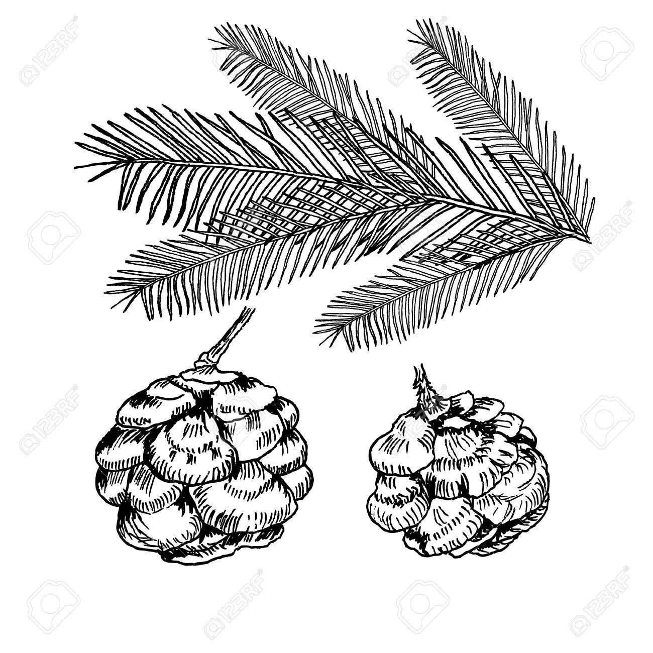 1300x1300 Vector Conifers Illustration On White Background. Evergreen Plant