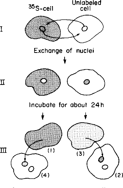 500x764 Distribution Of Proteins Between Nucleus And Cytoplasm Of Amoeba