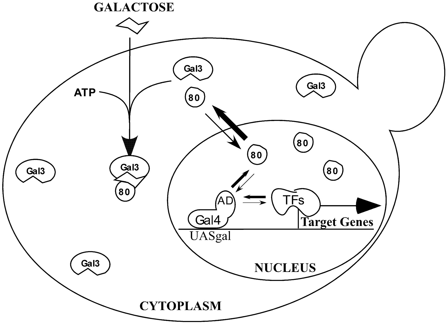 1800x1306 Gene Activation By Interaction Of An Inhibitor With A Cytoplasmic