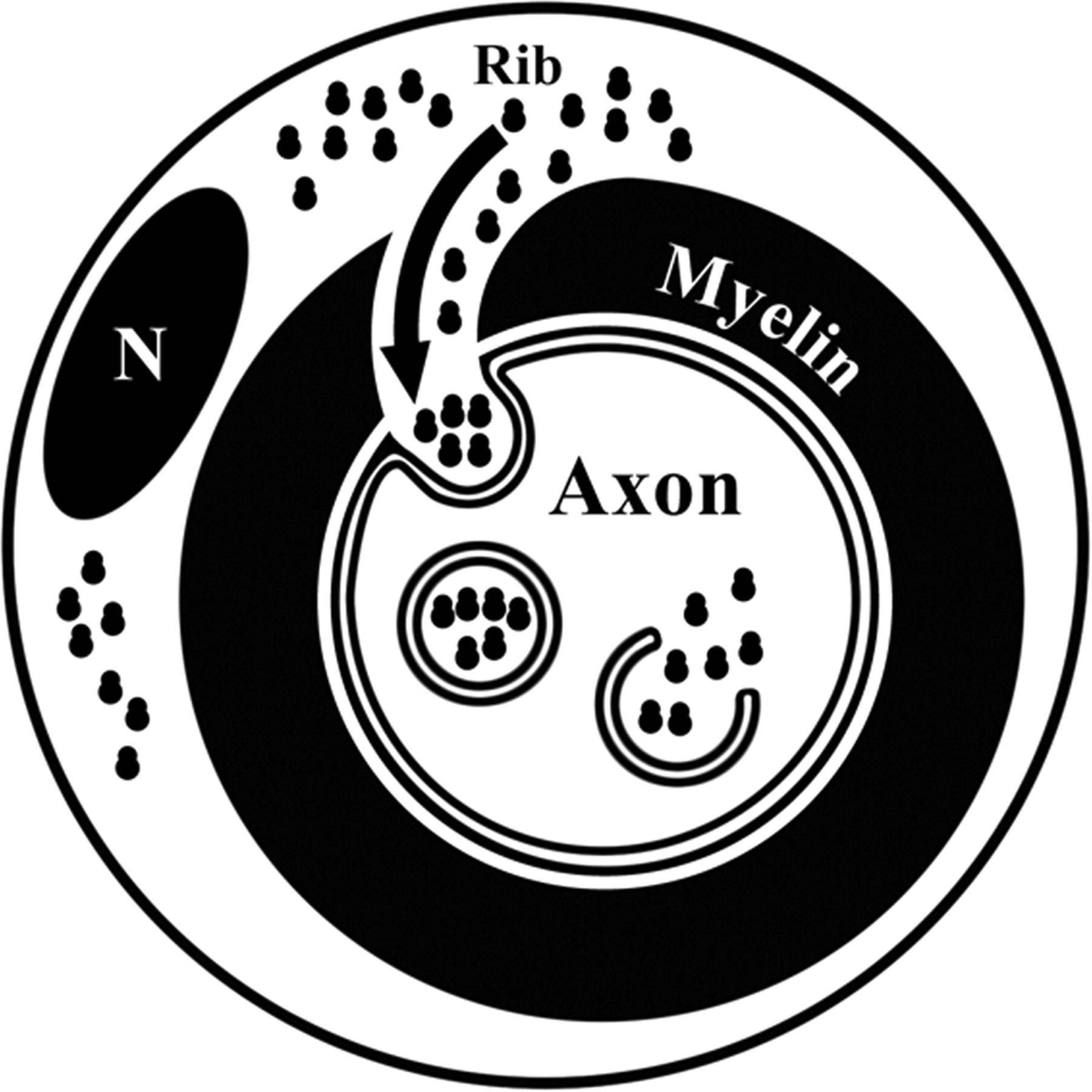 1800x1800 Schwann Cell To Axon Transfer Of Ribosomes Toward A Novel