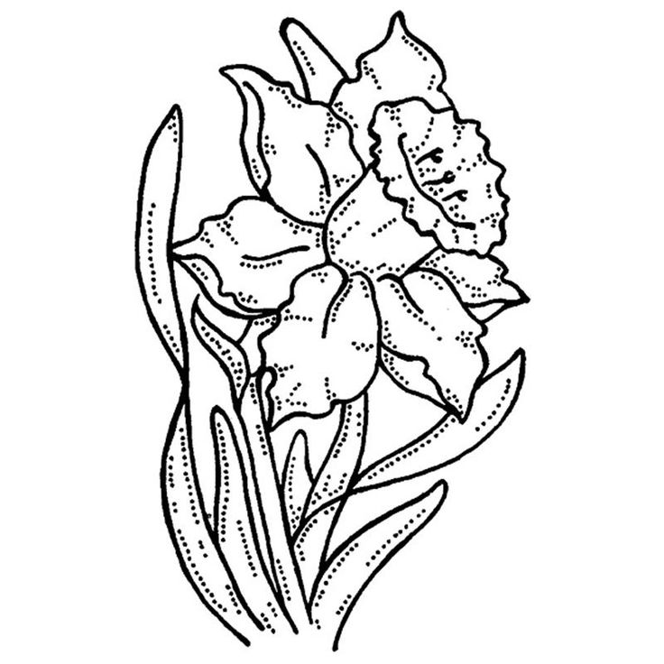 Daffodil Botanical Drawing