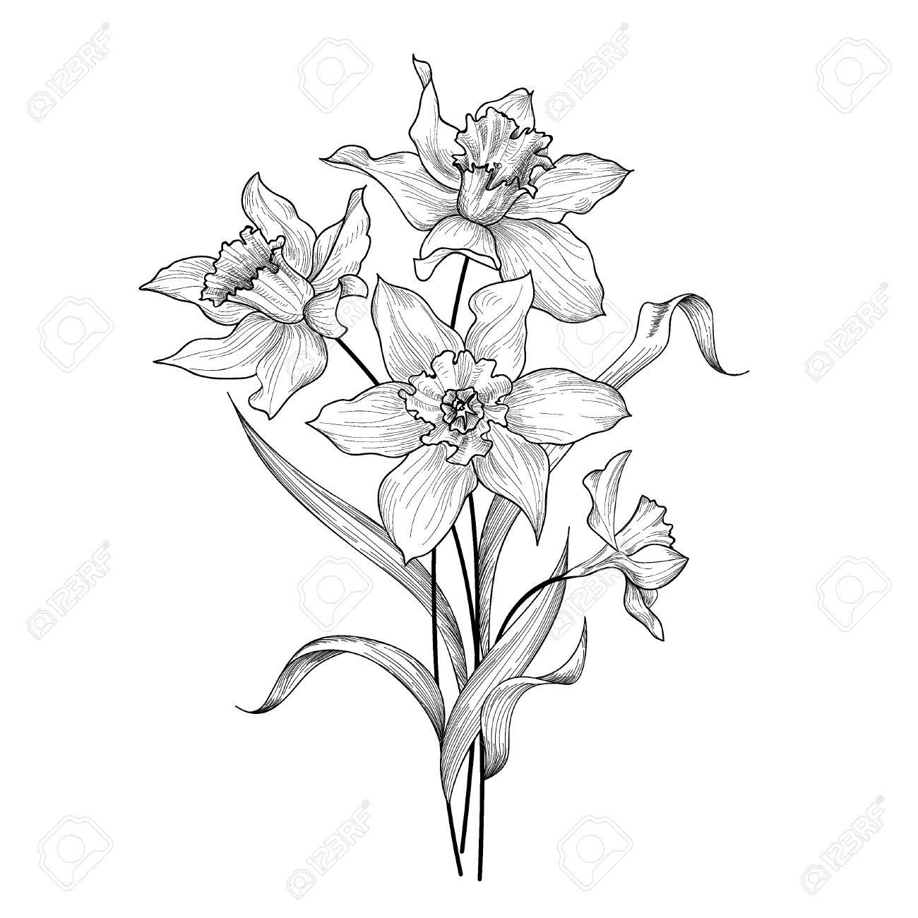 1300x1300 Floral Bouquet. Flower Daffodil Engraving Background. Floral