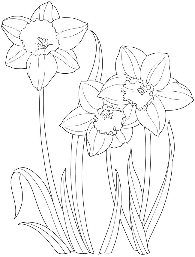 Daffodil Botanical Drawing at GetDrawings.com | Free for personal ...