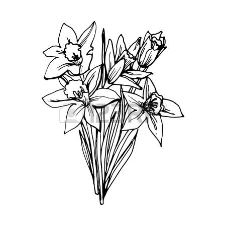 Daffodil Flower Drawing