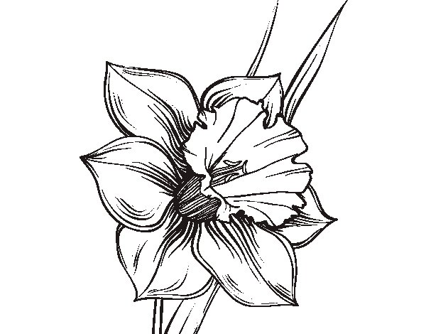 Daffodil Pencil Drawing at GetDrawings.com   Free for personal use ...
