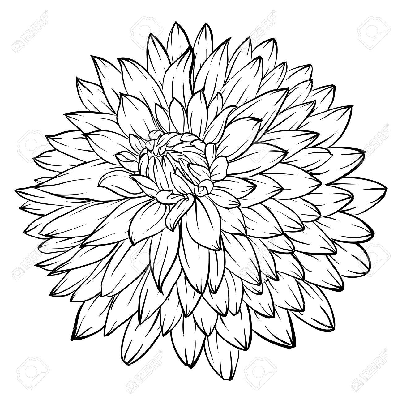 Dahlia Drawing At Getdrawings Free For Personal Use Dahlia