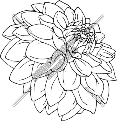 485x500 Dahlia Clipart Drawing