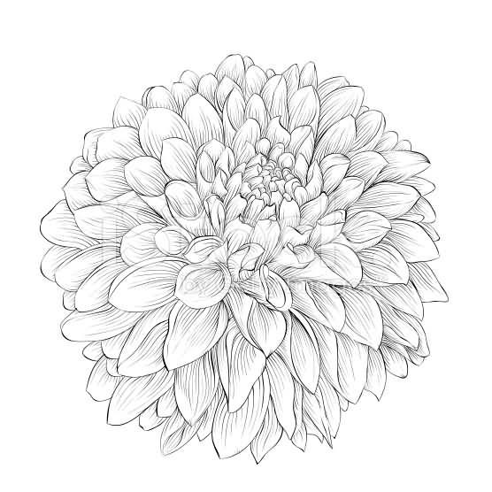 556x556 Dahlia Flowers Tattoo Designs