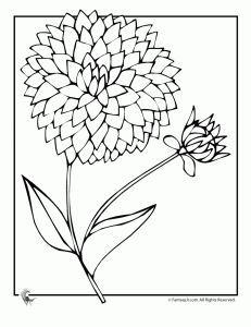 231x300 How To Draw A Dahlia, Dahlia Flower Step By Step
