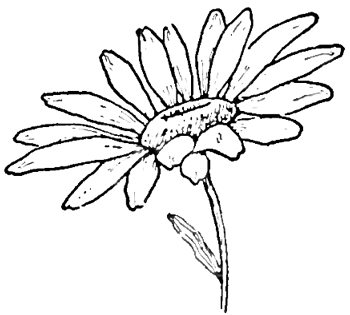 350x315 Drawing The Daisy How To Draw Daisies With Easy Step By Step